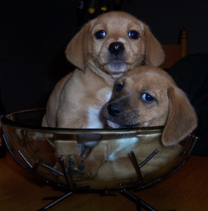 Gracie puppies in a bowl